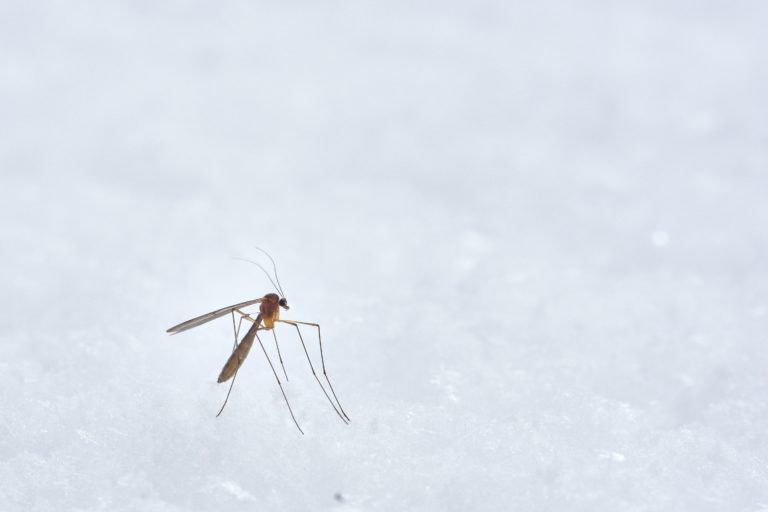 A mosquito in a white landscape.